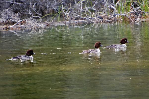 Spatelenten (Kanada, Juni 2008)