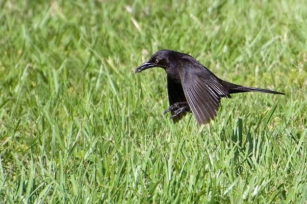 Purpurgrackel (Florida, Mai 2010)