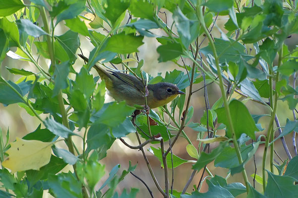 Rubinfleck-Waldsänger (Florida, April 2008)