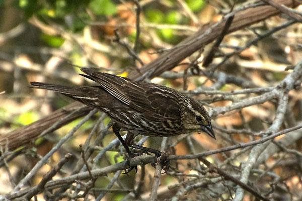 Rotschulterstärling ♀ (Texas, April 2009)