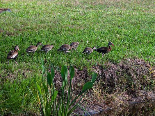Rotschnabel-Pfeifgans Familie (Florida, Oktober 2009)