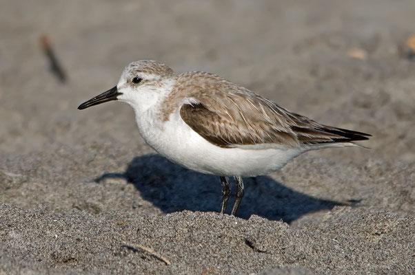 Sanderling (Florida, März 2012)