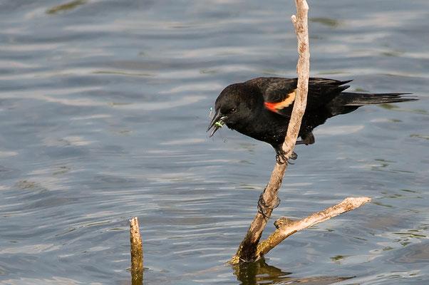 Rotschulterstärling, M (Florida, März 2012)