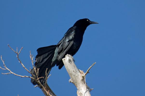 Dohlengrackel ♂ (New Mexico, Mai 2009)