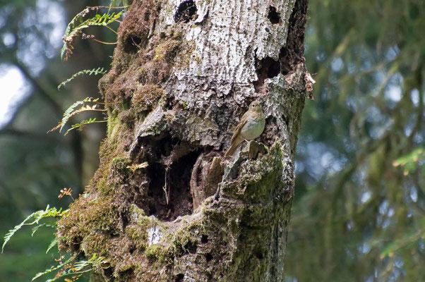 Zwergdrossel (Oregon, Mai 2011)