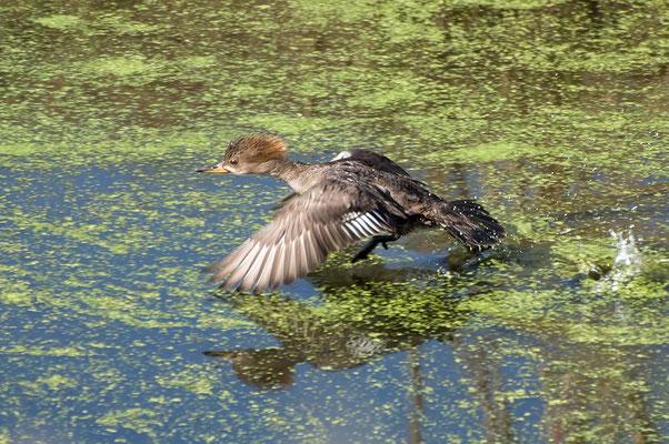 Kappensäger, ♀ (Florida, Januar 2012)