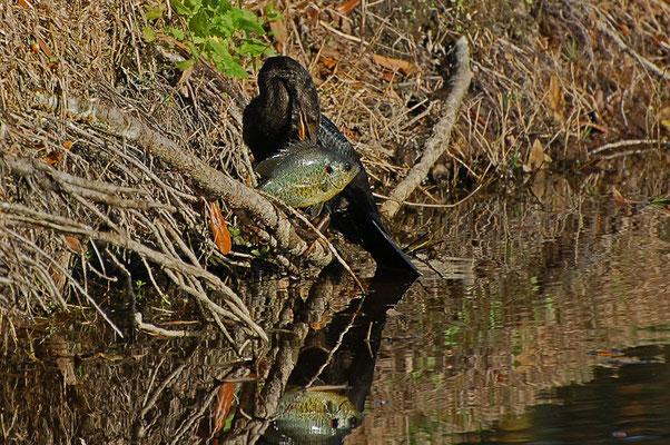 Schlangenhalsvogel mit aufgespießtem Sonnenbarsch (Florida, Dezember 2007)