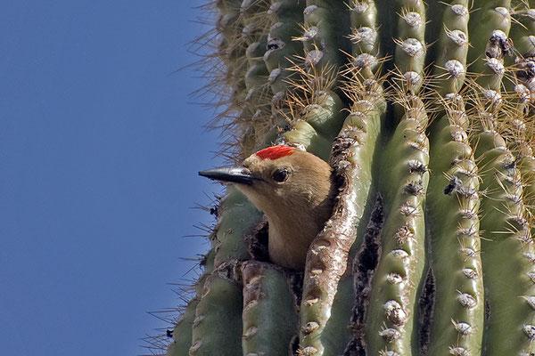 Gilaspecht (Arizona, Mai 2009)