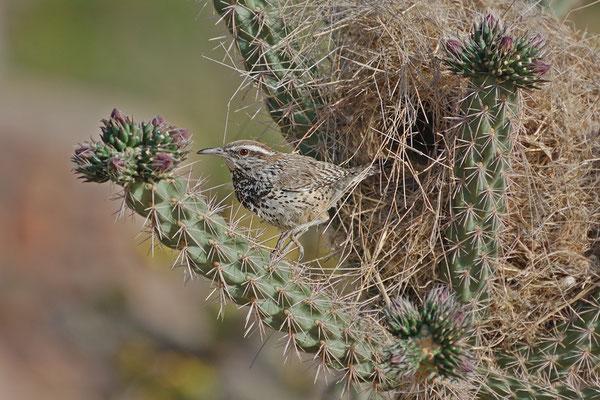 Kaktuszaunkönig (New Mexico , April 2009)