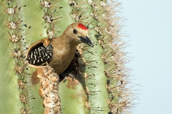 Gilaspecht ♂ (Arizona, Mai 2011)