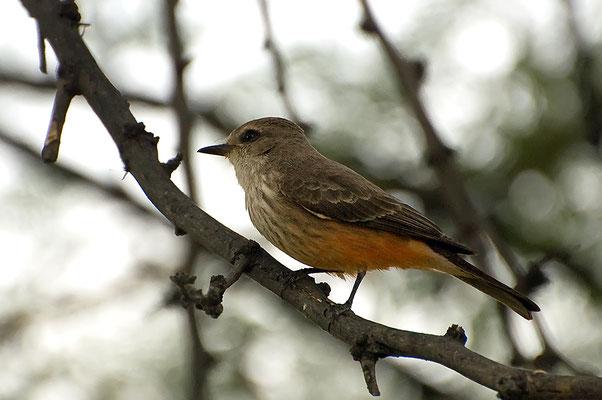 Rubintyrann ♀ (Texas, April 2009)