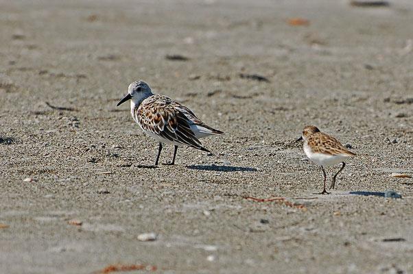 Zum Größenvergleich: li. Sanderling, re. Sandstrandläufer (Florida, April 2008)