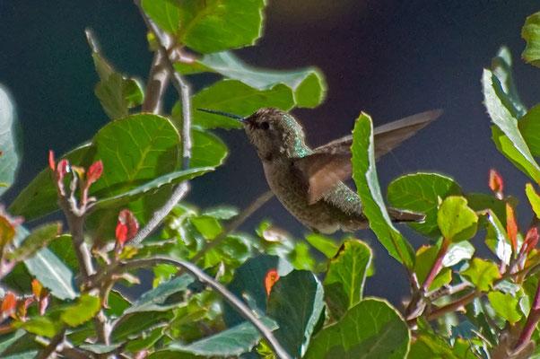 Schwarzkinnkolibri (Kalifornien, Mai 2011)