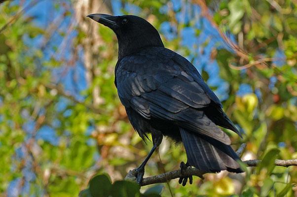 Amerikanerkrähe (Florida, Dezember 2007)