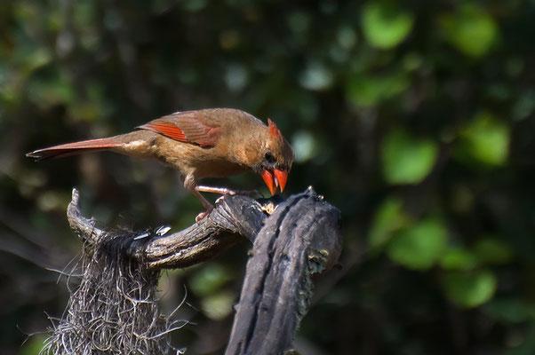 Roter Kardinal ♀ (Florida, Februar 2012)