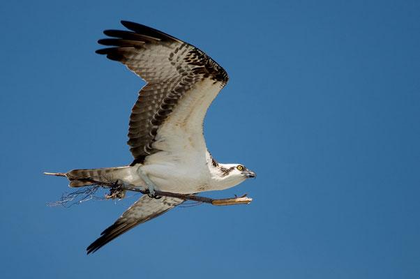 Fischadler (Florida, April 2014)