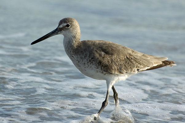 Schlammtreter (Florida, März 2009)