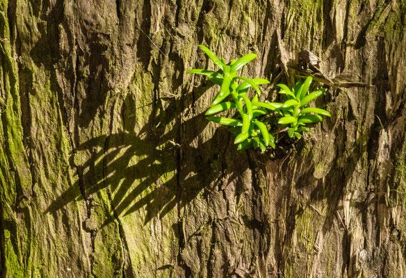 Boutures naturelles dans un tronc de thuya