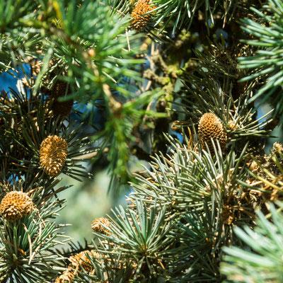 Cèdre de l'Atlas ( fleurs mâles)