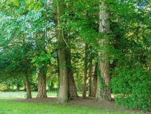 Pin Laricio: 4 troncs visibles ( entailles profondes). Thuya : 4 troncs(entailles fines, beaucoup moins visibles)
