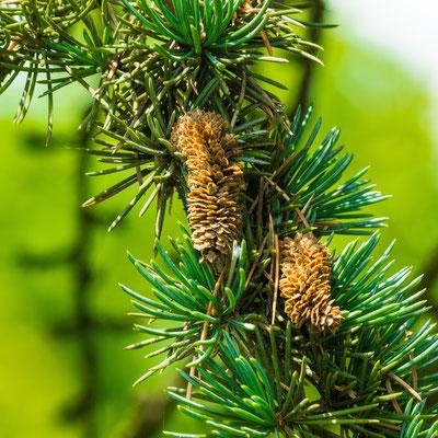 Fleur mâle ( son pollen a été largement distribué avant la prise de cette photographie)