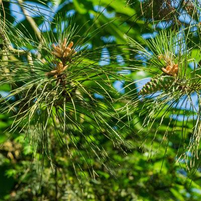 Pin Laricio: feuilles (aiguilles) ;  fruits (cônes); production du pollen ( fleurs mâles)