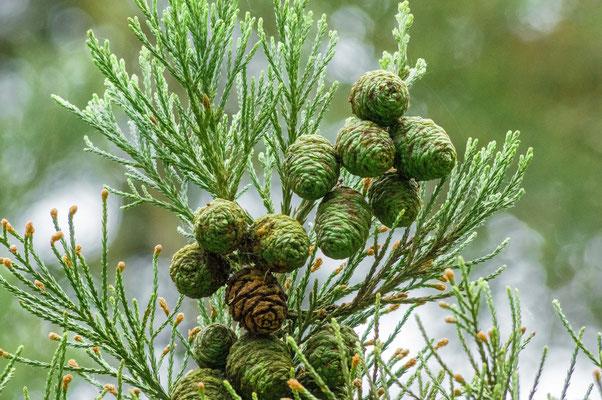 """""""Feuilles"""" avec fleurs mâles à l'extrémité des rameaux. Au centre: Fleurs femelles , forme de cône ovoïde (4 à 6 cm) contiennent des semences avec des bords ailés."""