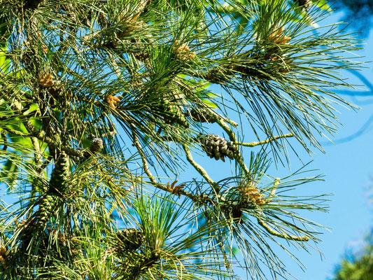 Pin Laricio: feuilles (aiguilles);  fruits (cônes); production du pollen ( fleurs mâles)