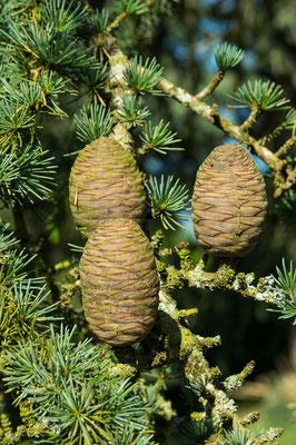 Trio de cône femelle (feuilles et cônes)