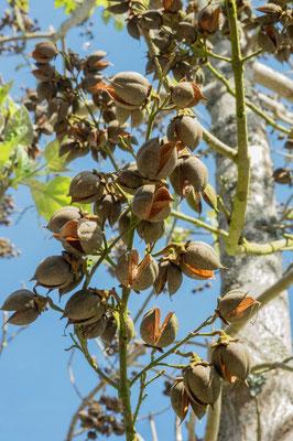 Fruits formés en automne, s'ouvrent au printemps suivant pour libérer les graines.