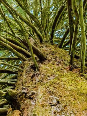 Les branches apparaissent à partir de la mi-hauteur