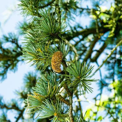 Cèdre de l'Atlas (fleurs mâle)