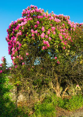 Arbre entier ( tronc, feuilles, fleurs)