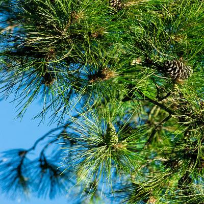 Pin Laricio: feuilles (aiguilles) et fruits (cônes)
