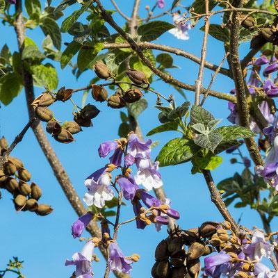 Fleurs, fruits (contenant des graines) et feuilles naissantes
