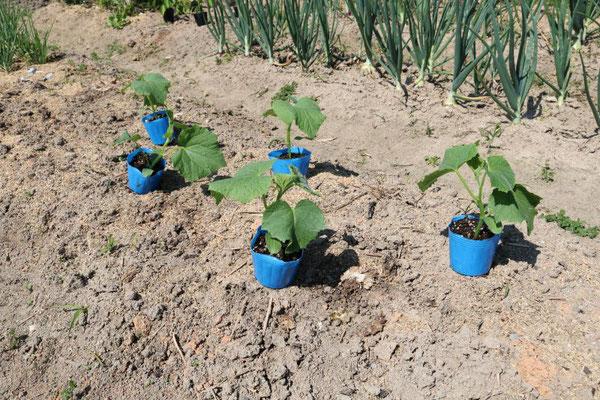 今回植えるきゅうりの苗