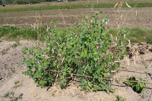 枝豆の成長状態