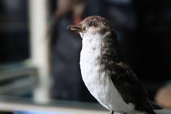 Lummensturmvogel