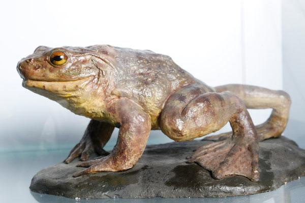 Goliathfrosch