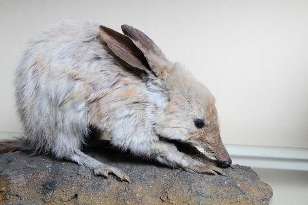 Kaninchen-Nasenbeutler