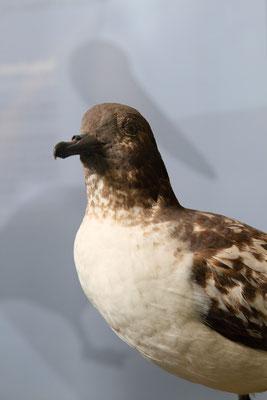 Kapsturmvogel