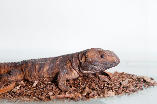Morunasaurus