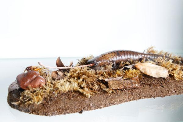 Pilzzungen-Salamander