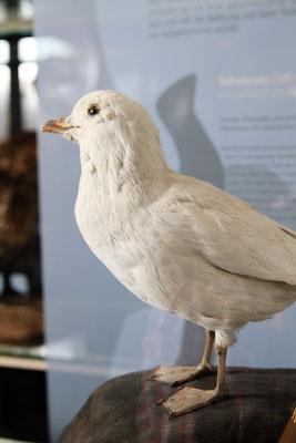 Schneesturmvogel