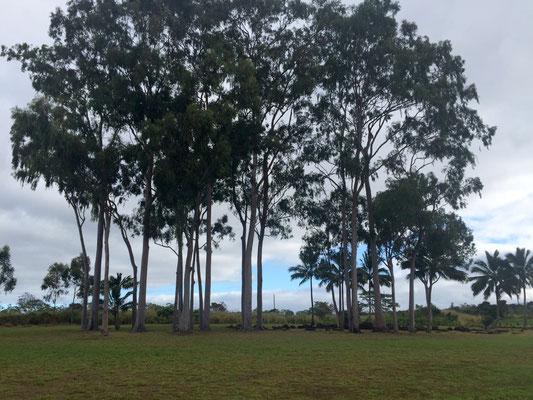 ハワイオアフ島クカニロコバースストーン ユーカリの木