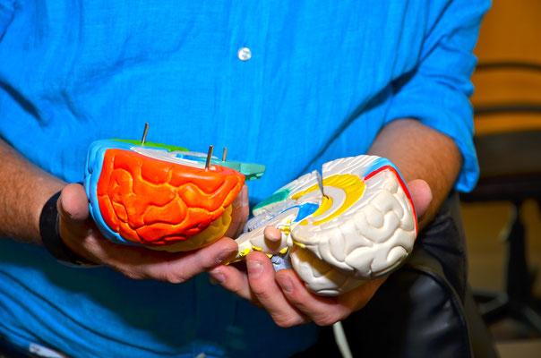 Gehirnmodelle 2014