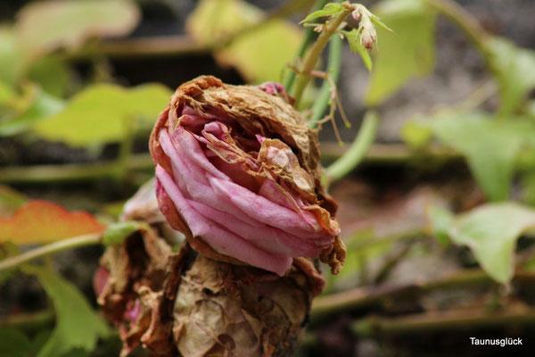 Rosenblüten der viele regen tat ihnen nicht gut