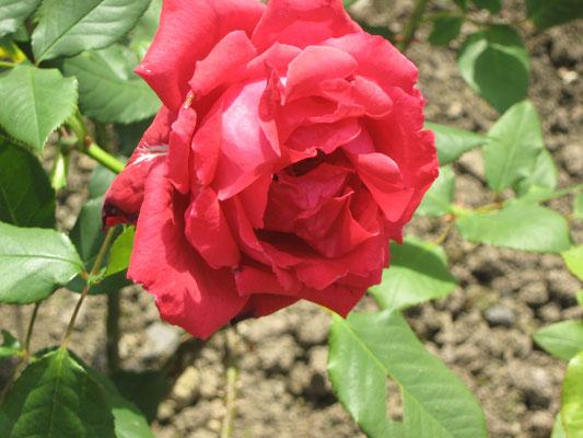 Die Konrad-Adenauer-Rose