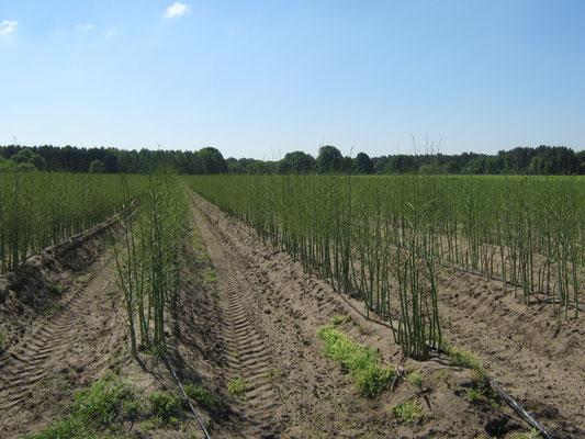 Asparagus - ein nicht erntebereites Spargelfeld im zweiten Jahr