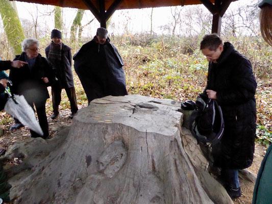 Auf dem Baumstumpf einer uralten Eiche am Schwanheimer Waldlehrpfad, die schon zur Zeit des Dreißigjährigen Krieges kein junger Baum mehr war, ist anhand der Jahresringe der Lauf der Geschichte dokumentiert.